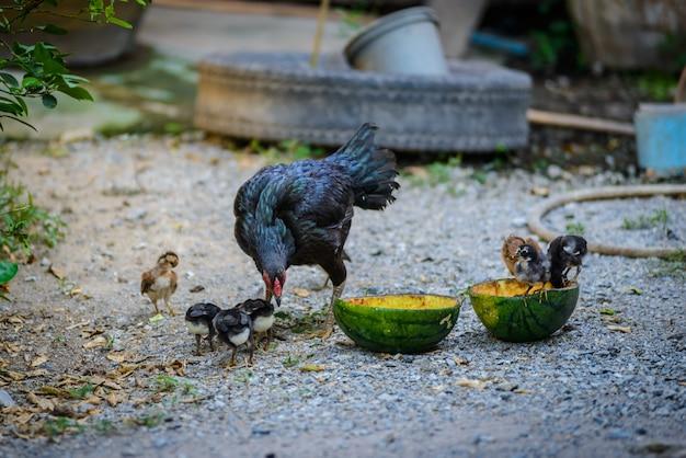 Poule et troupeaux, poussins de poule affluent debout sur le sol, troupeaux de poussins
