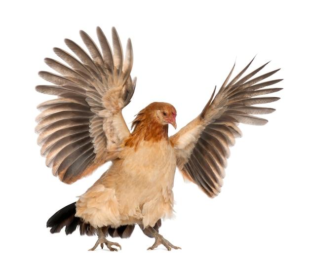 Poule volant contre l'espace blanc