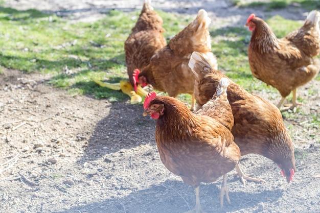 Poules brunes piquant le sol à l'intérieur du corral
