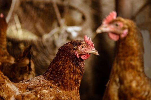 Poules dans une ferme bio, poulet dans un poulailler