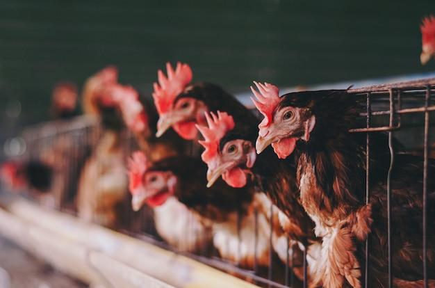 Poules dans une ferme industrielle de cages à bétail
