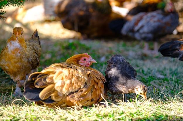 Poules sur une ferme biologique de volaille en libre parcours sur l'herbe poulets sur l'herbe verte