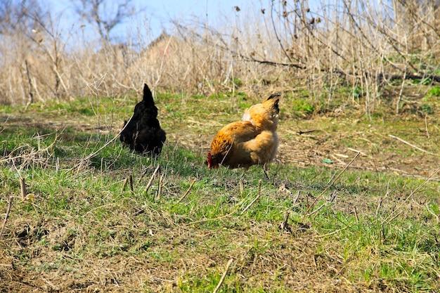 Poules sur l'herbe verte