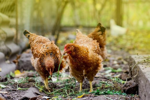 Poules posant dans l'herbe fraîche. temps d'alimentation des poulets. poulets bruns élevés en plein air au moment de l'alimentation