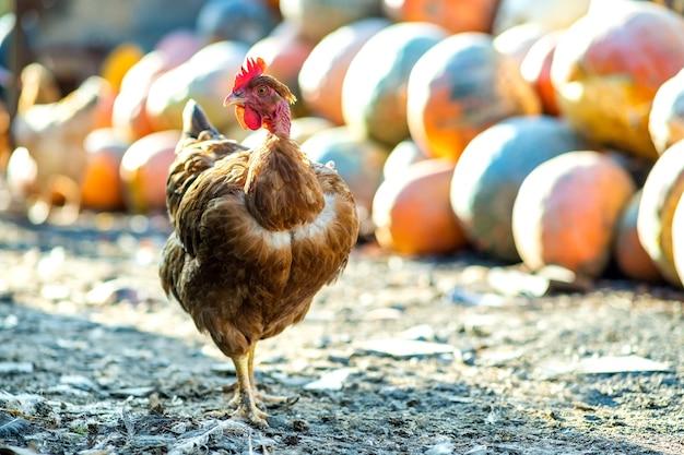 Les poules se nourrissent de basse-cour rurale traditionnelle. détail d'une tête de poule.