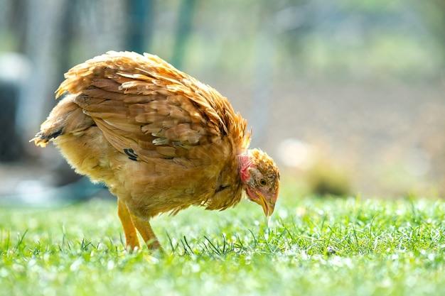 Les poules se nourrissent de basse-cour rurale traditionnelle. gros plan de poulet debout sur la cour de la grange avec de l'herbe verte. concept d'élevage de volaille en libre parcours.