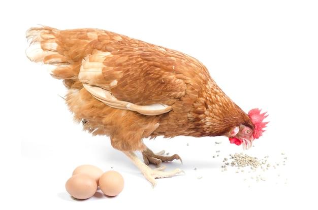 Poulet au nid avec des oeufs isolé sur blanc