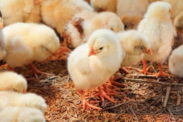Poulet bébé dans une ferme avicole
