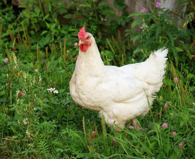 Poulet blanc qui marche sur l'herbe