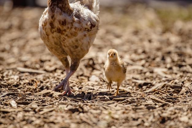 Poulet blanc sur sol brun