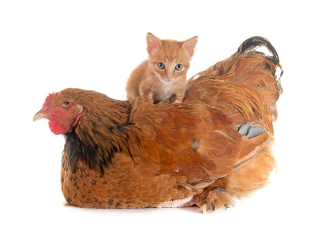 Poulet brahma et chaton