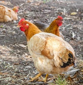 Poulet brun vivant marchant à la ferme. vie à la campagne.