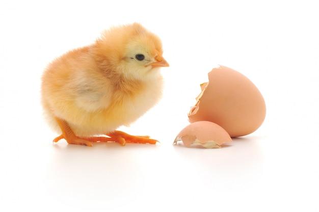 Poulet et une coquille d'oeuf