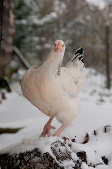 Un poulet dans une ferme enneigée