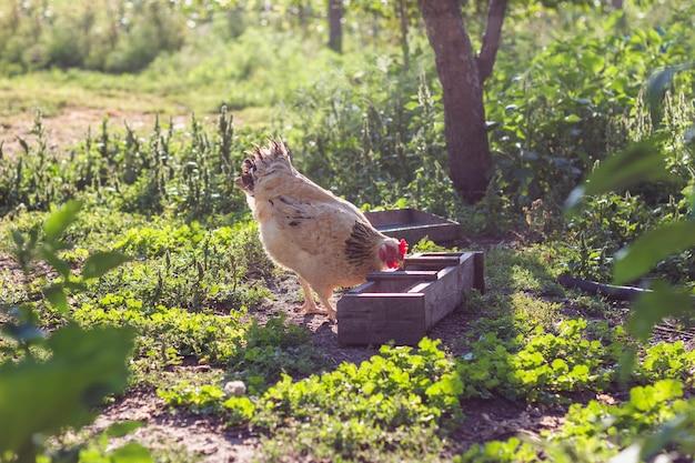 Poulet domestique mangeant des céréales