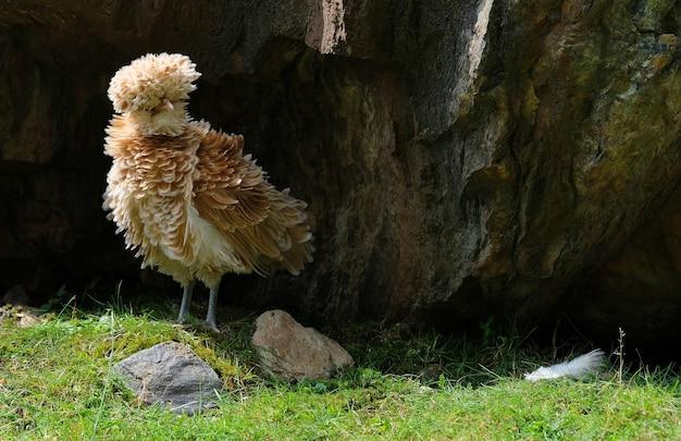 Poulet étrange sur l'herbe entre les rochers dans les montagnes en autriche