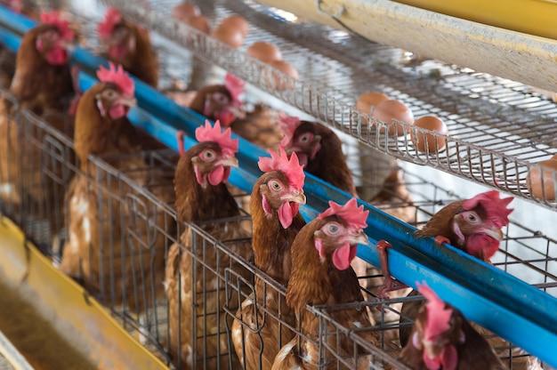 Poulet de ferme dans une grange, poules dans une ferme industrielle de cages