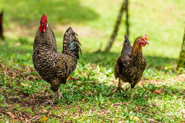Poulet fermier dans une ferme avicole traditionnelle.