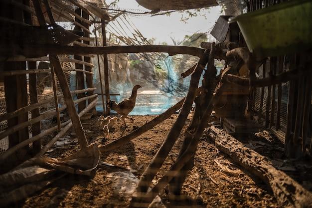 Poulet fermier dans une ferme avicole traditionnelle