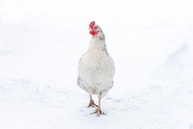 Le poulet fermier fourrage pendant que la neige légère tombe en hiver