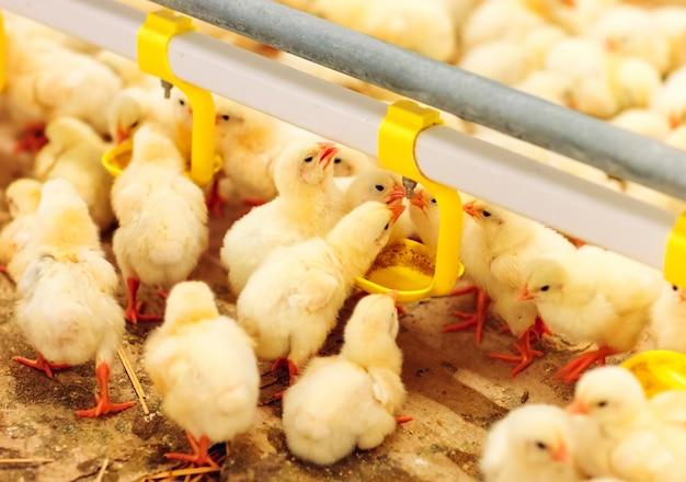 Poulet intérieur, alimentation du poulet