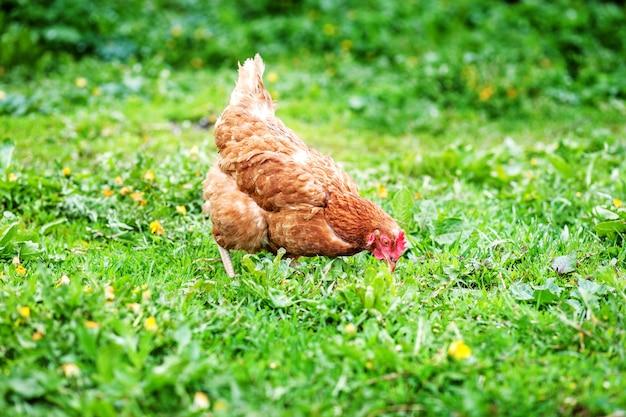 Poulet marchant sur la pelouse. ferme aux oiseaux concept.