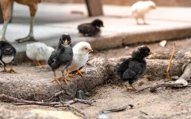 Poulet noir de bébé, animal domestique avec sa famille