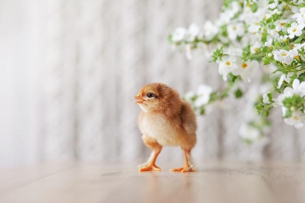 Poulet nouveau-né moelleux