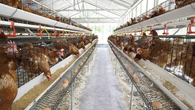Poulet, œufs de poule et poulets mangeant de la nourriture dans une ferme.
