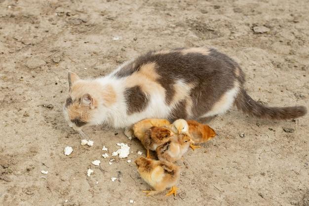 Poulet de pâques mangeant avec gentil chat. copains.
