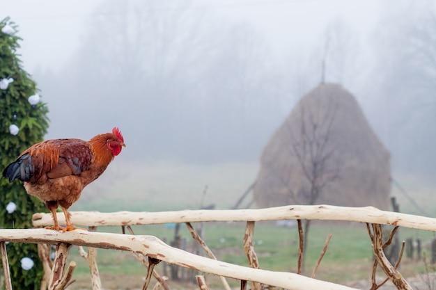 Poulet rouge debout sur une clôture en bois avec coop en arrière-plan