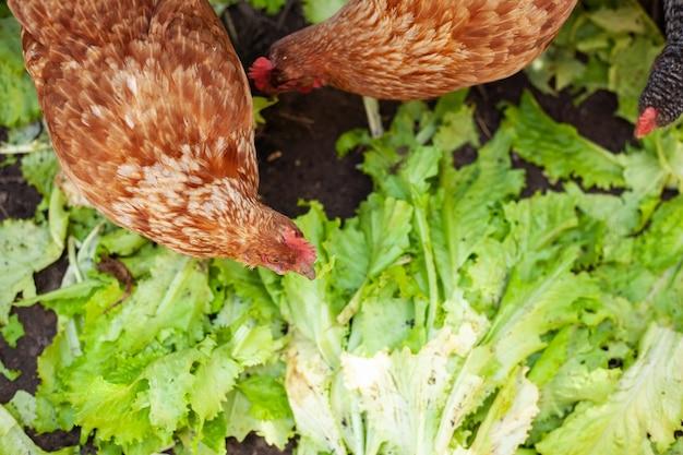 Poulet se nourrissant de basse-cour rurale traditionnelle poules sur cour de grange dans une ferme écologique