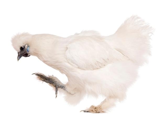 Poulet silkie blanc, debout