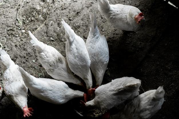 Les poulets blancs sont mangés dans un bol. vue de dessus. un troupeau de poulets courut se nourrir. ferme de poulet