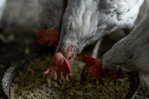 Les poulets blancs avec des touffes rouges mangent du grain dans un bol. poulets dans le village. garder et nourrir les poulets à la maison