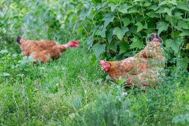 Poulets bruns dans un jardin près d'un buisson de groseilles
