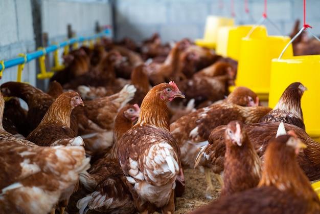 Poulets bruns à la ferme