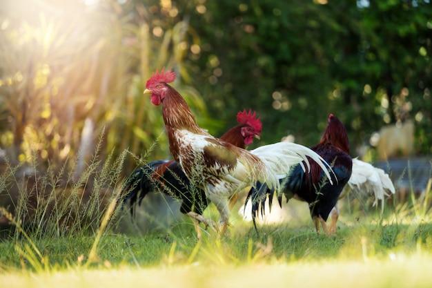 Poulets ou coqs dans la nature