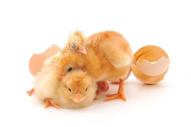 Poulets et coquilles d'oeufs
