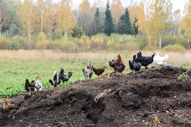 Poulets dans la cour