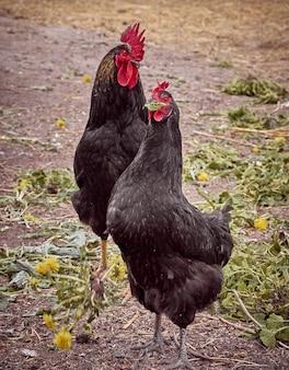 Poulets dans une ferme traditionnelle.