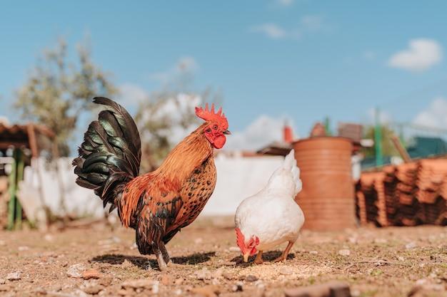Poulets élevés en liberté dans le champ d'un éleveur