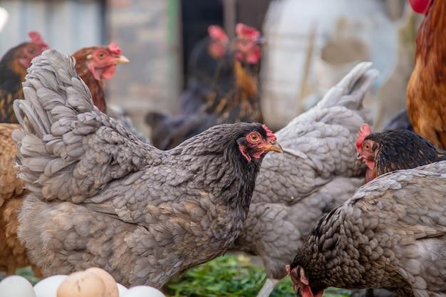 Poulets à la ferme et œufs dans un bol