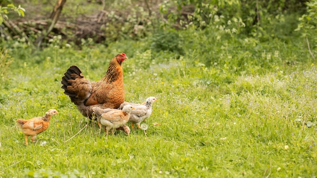 Poulets, herbe, champ