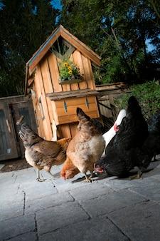 Les poulets mangent des aliments près du jardin coop