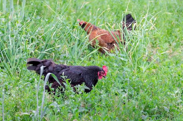 Poulets noirs et bruns dans le jardin parmi l'herbe épaisse