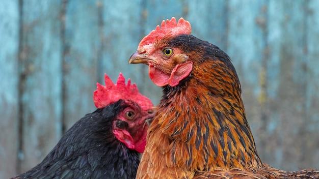 Les poulets noirs et bruns se sont tournés l'un vers l'autre, gros plan