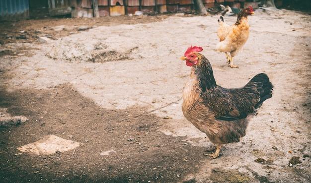 Poulets, oies et dindes dans le poulailler