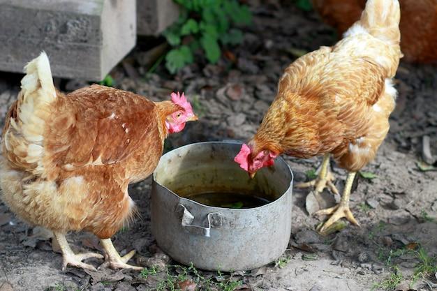 Poulets à la recherche de foo
