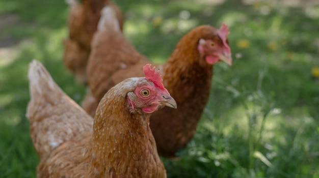 Poulets rouges dans une ferme dans la nature